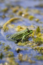 Lake frog - Pelophylax ridibundus (Rana ridibunda) Royalty Free Stock Photo