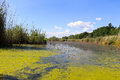 Lake with green algae and duckweed on the water surface Royalty Free Stock Photo