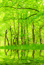 Lake in green hornbeam growth. Royalty Free Stock Photo