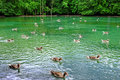 Pond idyll with ducks at spring Royalty Free Stock Photo