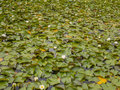 Lake lily pads in bloom on a surface Stock Photography