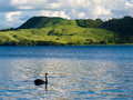 Lake okatania nz black swan cygnus atratus on blue water of north island of new zealand Royalty Free Stock Images