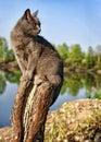 Lake pedigreed cat Royalty Free Stock Photo