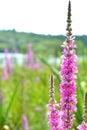lake pink flowers