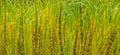 Lake river sedge closeup at autumn. Colorful grass background Royalty Free Stock Photo