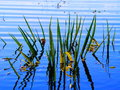 Lake sedge green grows on blue Royalty Free Stock Photography