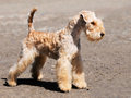 Lakeland Terrier standing Royalty Free Stock Photo