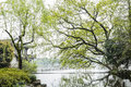 The lakeside camphor tree this photo was taken in west lake cultural landscape of hangzhou zhejiang province china Royalty Free Stock Photos