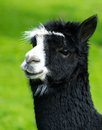 Lama beautiful black and white Royalty Free Stock Photography