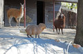 Lama and capybara in Moscow Zoo