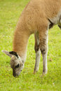 Lama eating grass Royalty Free Stock Photo