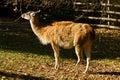 Lama guanaco