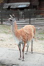 Lama guanicoe guanaco in the open aviary of the zoo Stock Image