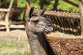 Lama head right profile Royalty Free Stock Photography