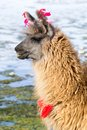 Lama on the Laguna Colorada, Bolivia Royalty Free Stock Photography