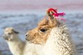 Lama on the Laguna Colorada, Bolivia Royalty Free Stock Photos