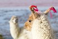 Lama on the Laguna Colorada, Bolivia Royalty Free Stock Images