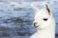 Lama on the Laguna Colorada, Bolivia Royalty Free Stock Photo