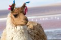 Lama on the Laguna Colorada, Bolivia Stock Photography