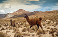 Lama in nature at bolivian potosi Royalty Free Stock Photo