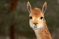 Lama portrait of llama zoo s mammal Stock Photo