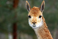 Lama portrait of llama zoo s mammal Royalty Free Stock Photo