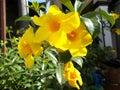 Alamanda flower garden Royalty Free Stock Photo