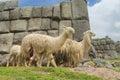 Lamas in inca ruins Royalty Free Stock Photo