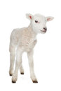 Royalty Free Stock Photography Lamb