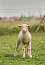Lamb clumsy standing on grass and looking at camera Royalty Free Stock Photo