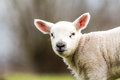 Lamb an cute looking at me Stock Photography