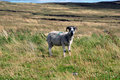 Lamb in a field Royalty Free Stock Photography