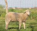 Lamb on grass close up of standing farmland Royalty Free Stock Photography