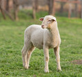Lamb on grass close up of standing farmland Royalty Free Stock Image