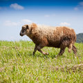 Lamb grazing in a green field Stock Images
