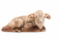 Lamb isolated on white background Stock Photography