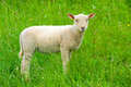 Lamb little on grenn meddow Stock Photo