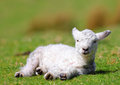 Lamb newborn welsh warming in sun Royalty Free Stock Images