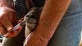 Lamb recieving medicine from farmer medecine via drench Royalty Free Stock Image
