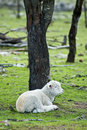 Lamb resting under tree Stock Photography