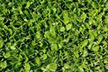 Lamb s lettuce grown protected by network Stock Photo