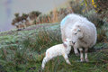 Lamb and sheep one hour old newborn spring taking first steps mother at daybreak Stock Photography