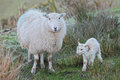 Lamb and sheep one hour old newborn spring taking first steps mother at daybreak Royalty Free Stock Images