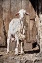 Lamb Standing In Front Of A Wooden Barn Door