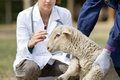 Lamb vaccination afraid in workers hands waiting for Stock Photo