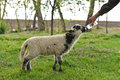 Lamb who lost his mother being hand fed by a farmer Royalty Free Stock Photo