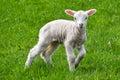 Lambing Time Royalty Free Stock Photo
