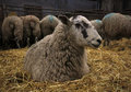 Lambing Time Royalty Free Stock Photo