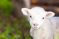 Lambkin Royalty Free Stock Photo