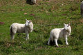 Lambs in the brecon beacons a field wales Stock Images